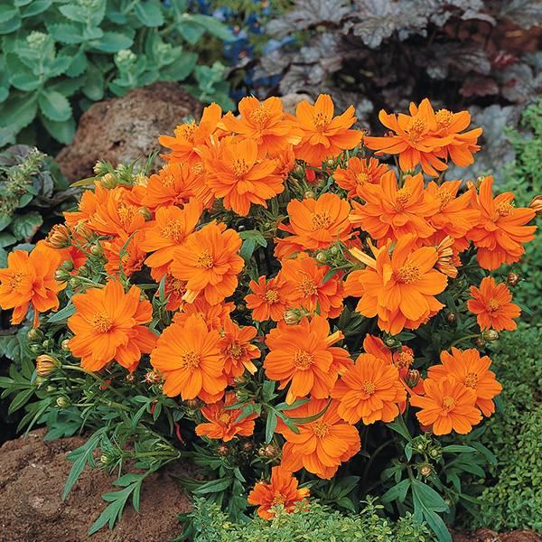 Bilde av COSMOS 'Cosmic Orange'. PYNTEKORG