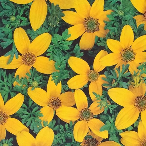Bilde av BIDENS ferulifolia 'Golden Eye'. SMALBRØNSLE