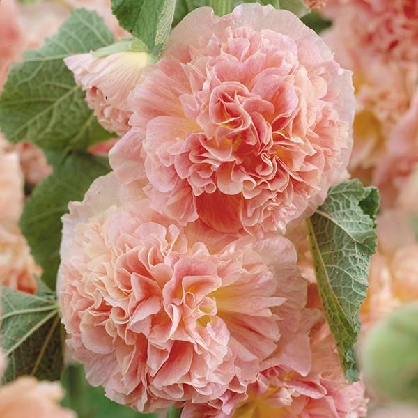 Bilde av ALCEA 'Peaches 'n' Dreams'. HAGESTOKKROSE