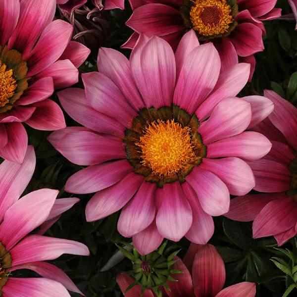 Bilde av GAZANIA 'Pink Shades'. PÅFUGLBLOMST