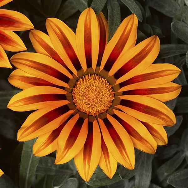Bilde av GAZANIA Kiss 'Frost Orange Flame'. PÅFUGLBLOMST.