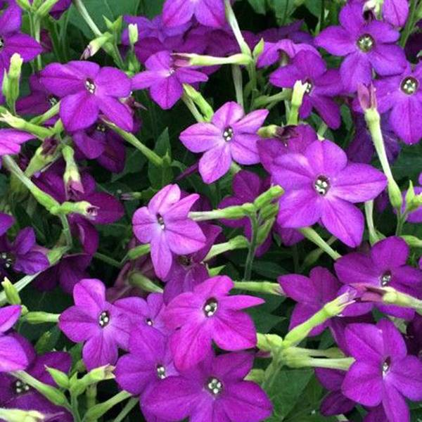 Bilde av NICOTIANA 'Perfume Deep Purple'. PRYDTOBAKK. F1