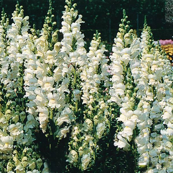 Bilde av ANTIRRHINUM 'Floral Showers White'. LØVEMUNN. F1