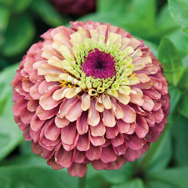 Bilde av ZINNIA elegans 'Queeny Lime Red'