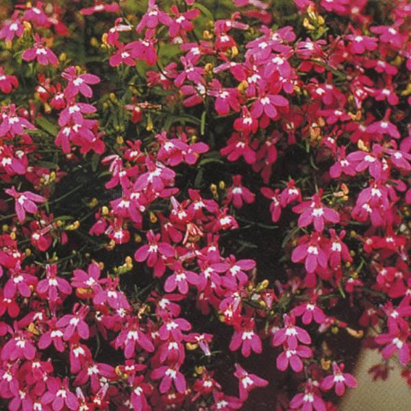 Bilde av LOBELIA pendula 'Fountain Rose'