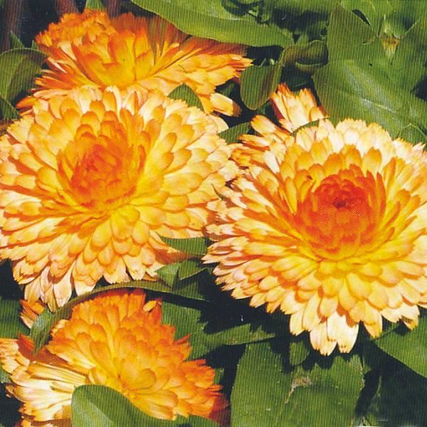 Bilde av CALENDULA 'Apricot Twist'. RINGBLOMST