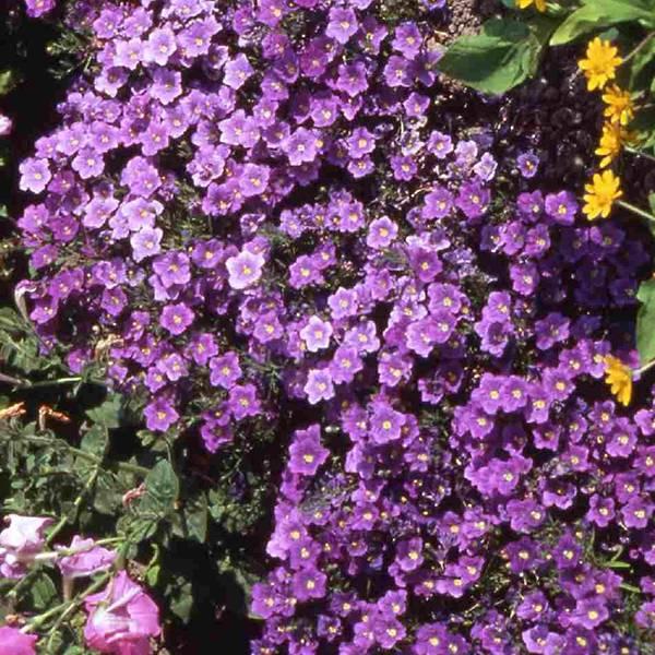 Bilde av NIEREMBERGIA 'Purple Robe'