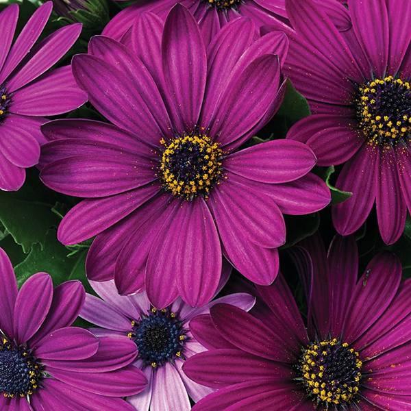 Bilde av OSTEOSPERMUM ' Purple' - Purpur
