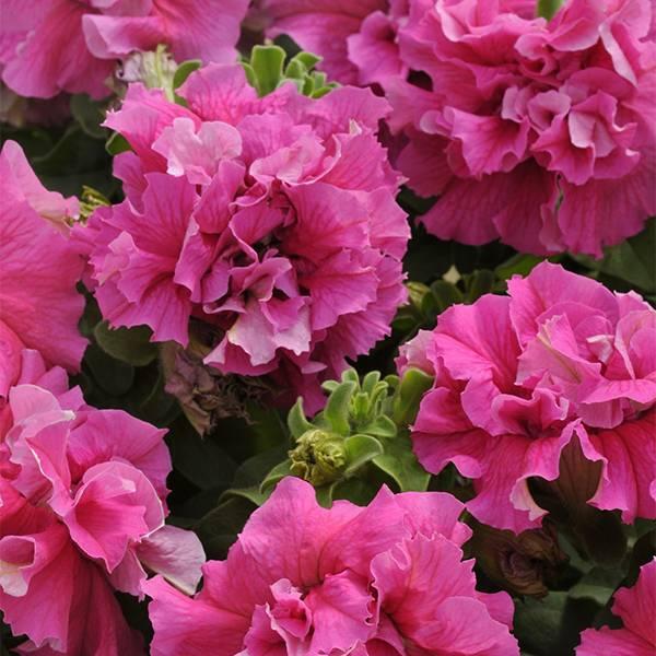 Bilde av PETUNIA DOBBEL 'Cascade Pink' F1 Hybr.