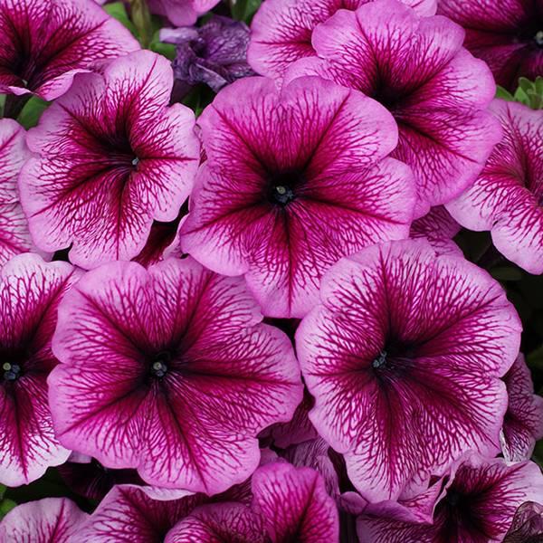 Bilde av PETUNIA 'Limbo Orchid Veined' F1 Hyb. - NYHET