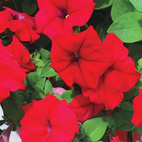 Bilde av PETUNIA 'Limbo Red' F1 hyb.