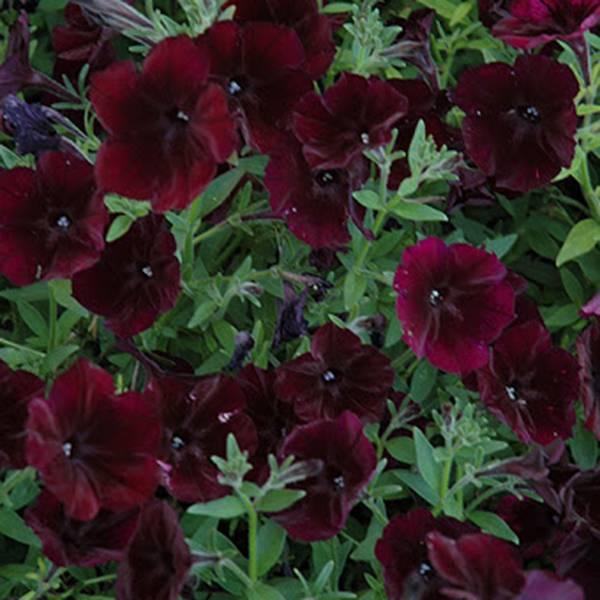 Bilde av Petunia 'Black Cherry'