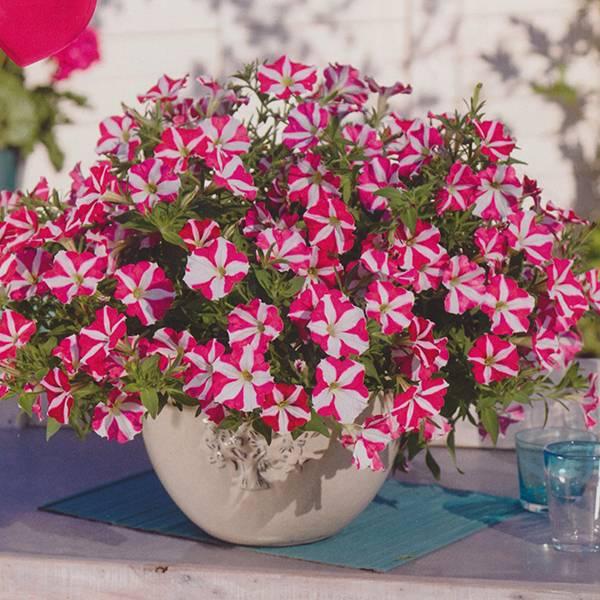 Bilde av PETUNIA Picobella F1 hyb. 'Rose Star'