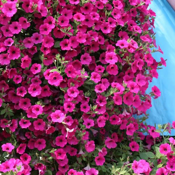 Bilde av PETUNIA 'Lavendel Wave' F1 hyb. - AMPELPETUNIA