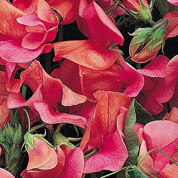 Bilde av LATHYRUS* 'Apricot Sprite'. BLOMSTERERT
