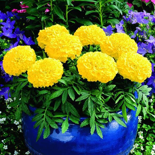 Bilde av TAGETES 'Antiqua Yellow'. FLØYELSBLOMST