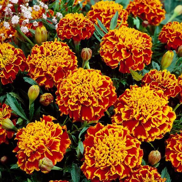 Bilde av TAGETES ' Honeycomb'
