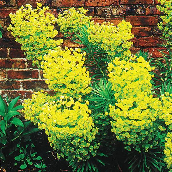 Bilde av EUPHORBIA characias ssp. 'Wulfenii'