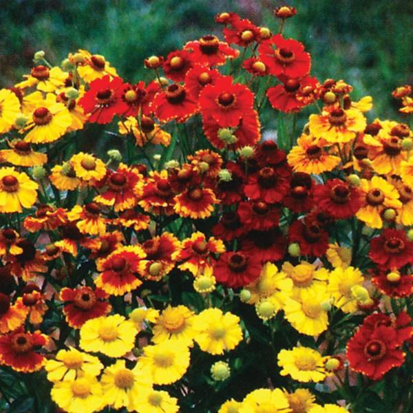 Bilde av HELENIUM autumnale 'Rotgold-hybr. Mix.'. Solbrud