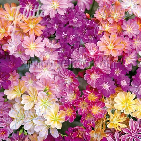 Bilde av LEWISIA cotyledon 'Regenbogen'