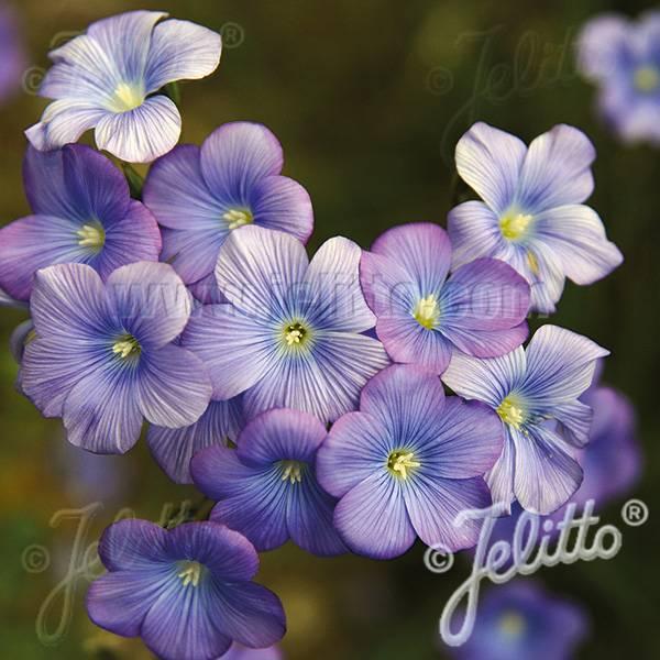 Bilde av LINUM* narbonense 'Heavenly Blue'. Lin