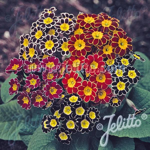 Bilde av PRIMULA elatior-Hybr. 'Victorian Laced Primroses'