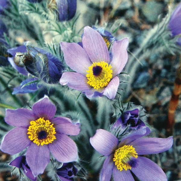 Bilde av PULSATILLA vulgaris grandis. Kubjelle, stor