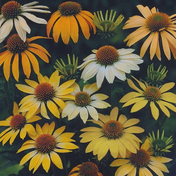 Bilde av ECHINACEA p. 'Mellow Yellows'. Solhatt
