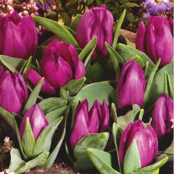 Bilde av Tulipan Baby Blue - 8 stk. blomsterløk