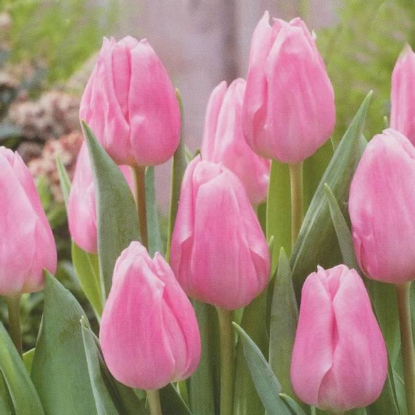 Bilde av Tulipan Aafke - 10 stk. blomsterløk