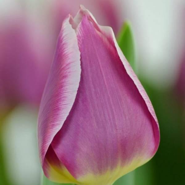 Bilde av NYHET! Tulipan Cracker - 8 stk. blomsterløk