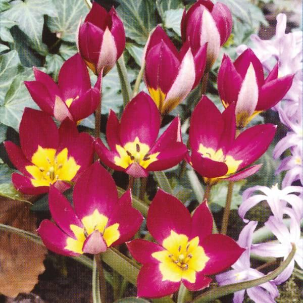 Bilde av Botanisk Tulipan Persian Pearl * - 8 stk.