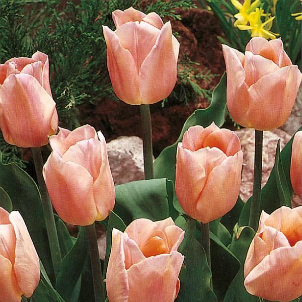Bilde av Tulipan Apricot Beauty - 8 stk. blomsterløk