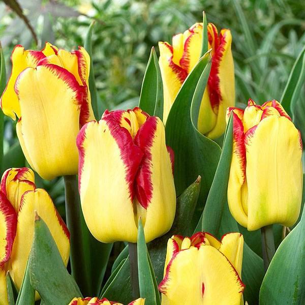 Bilde av NYHET! Tulipan Cape Town - 10 stk. blomsterløk