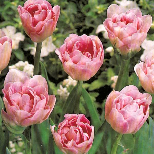Bilde av Tulipan Angelique  - 8 stk. blomsterløk