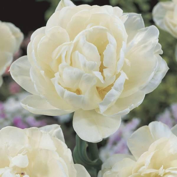 Bilde av Tulipan Mount Tacoma* - 8 stk. blomsterløk