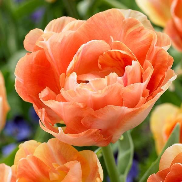 Bilde av NYHET! Tulipan Charming Beauty  - 6 stk.