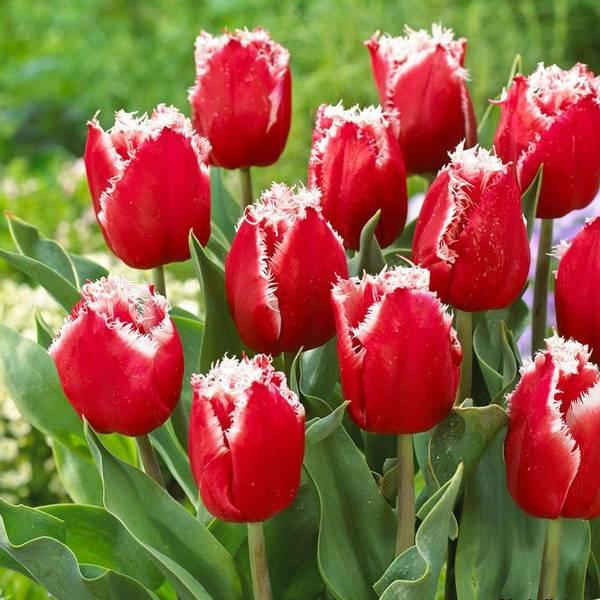 Bilde av NYHET! Tulipan New Santa - 8 stk. blomsterløk