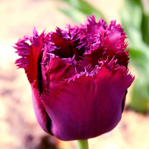 Bilde av NYHET! Tulipan Curly Sue - 8 stk. blomsterløk