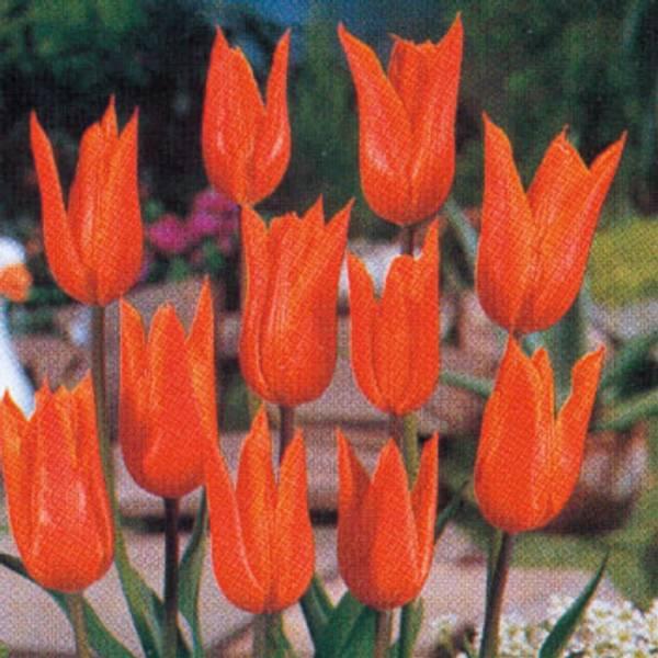 Bilde av Tulipan Ballerina - 10 stk. blomsterløk