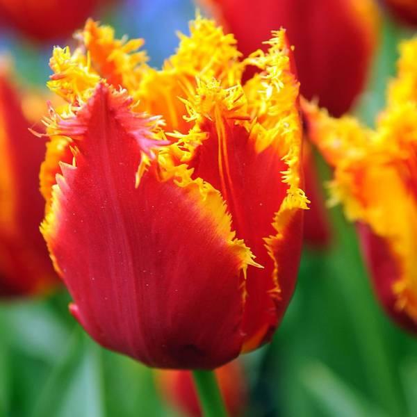 Bilde av NYHET! Tulipan I to Holland  - 8 stk. blomsterløk
