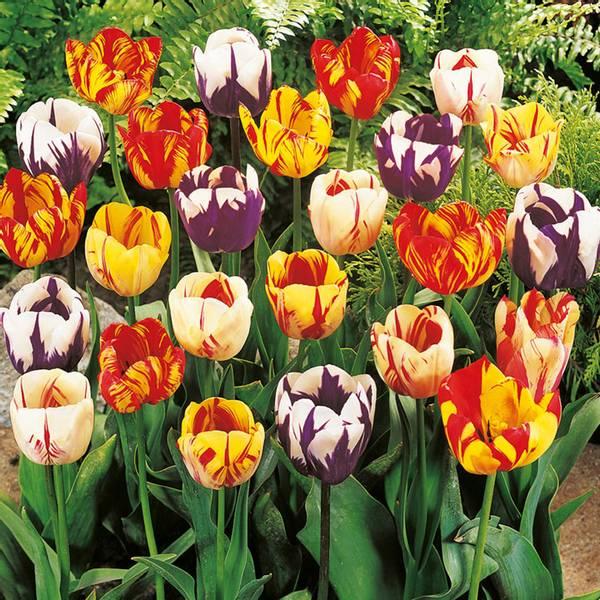 Bilde av TILBUD! *Tulipan Rembrant - 40 stk. blomsterløk