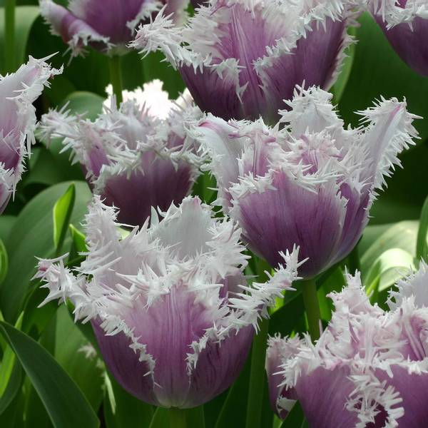 Bilde av Tulipan Cummins - 6 stk. blomsterløk