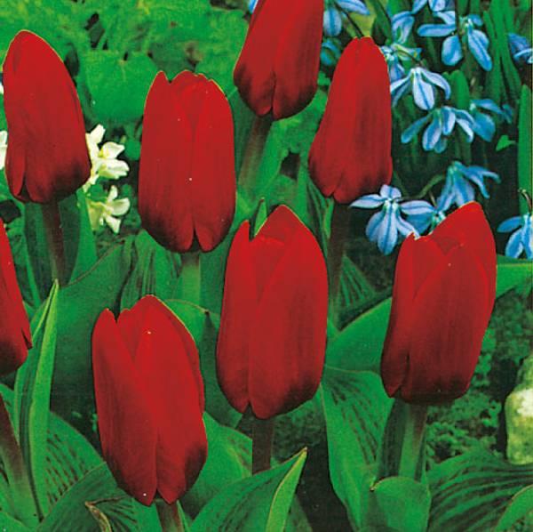 Bilde av Tulipan Showwinner  - 8 stk. blomsterløk