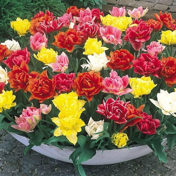 Bilde av Doble tidlige tulipaner – Fargeblanding - 25 stk.