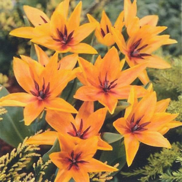 Bilde av Botanisk tulipan praestans Shogun - 6 stk.
