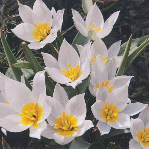 Bilde av Botanisk Tulipan Polychroma - 8 stk. blomsterløk