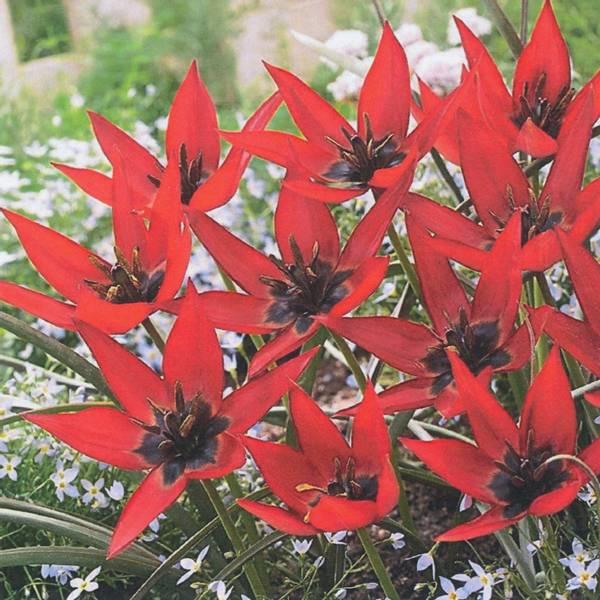 Bilde av Botanisk Tulipan Lizzy  - 8 stk. blomsterløk
