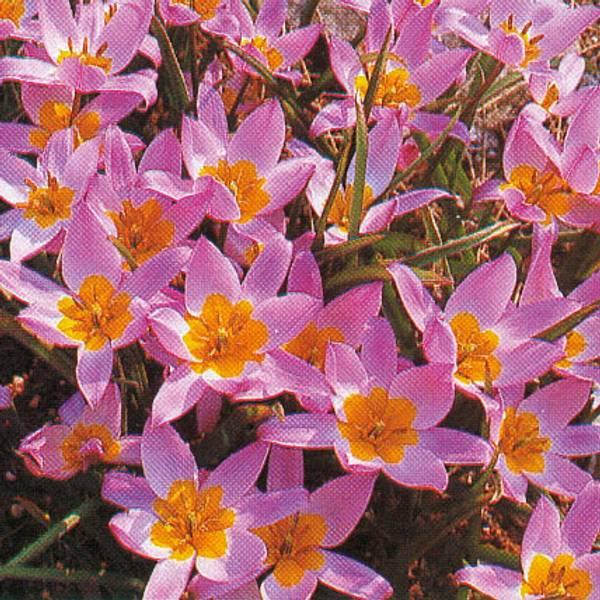 Bilde av Botanisk Tulipan *Pulchella Humilis - 6 stk.