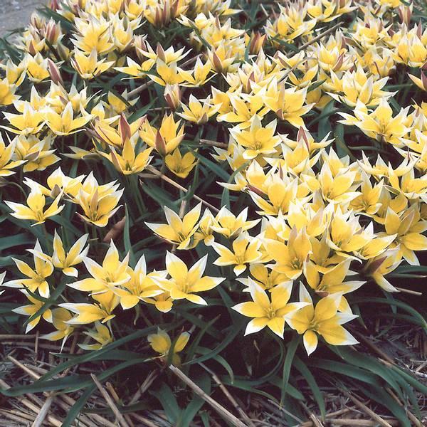 Bilde av Botanisk Tulipan Tarda  - 15 stk. blomsterløk